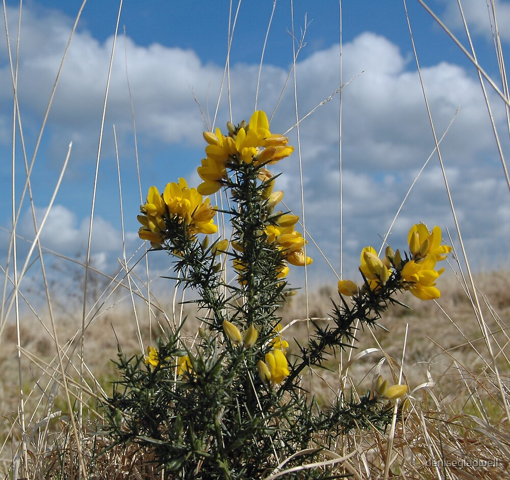 Spring Gorse by denisegladwell