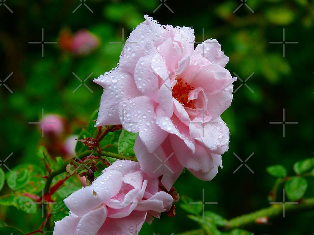 Roxy Rose by Gail Bridger