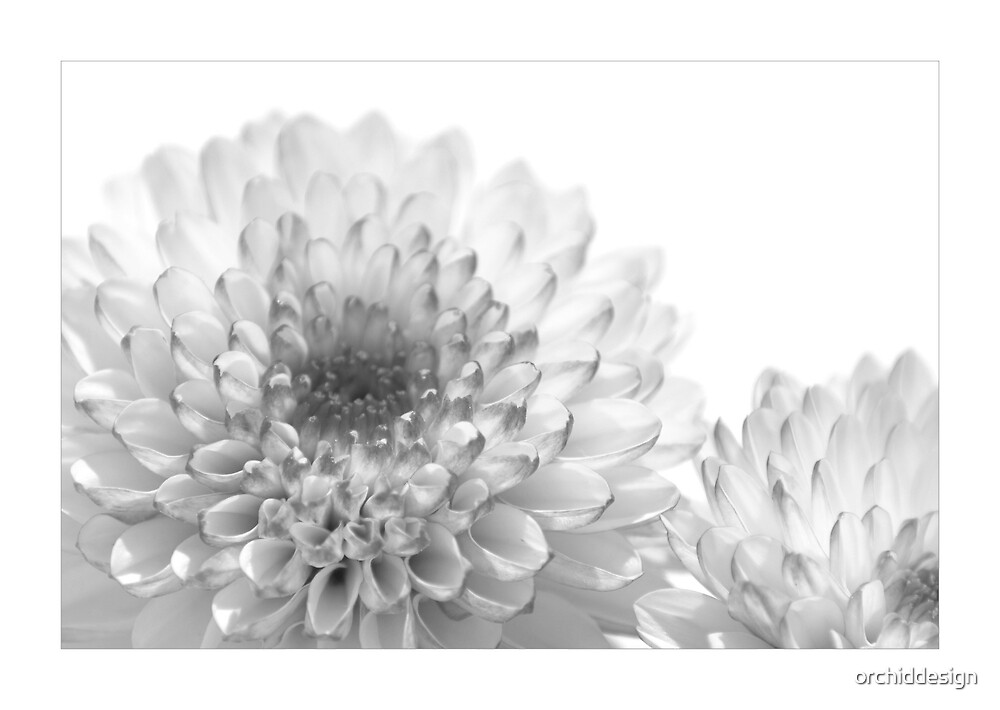 Chrysanthemum Mono by orchiddesign