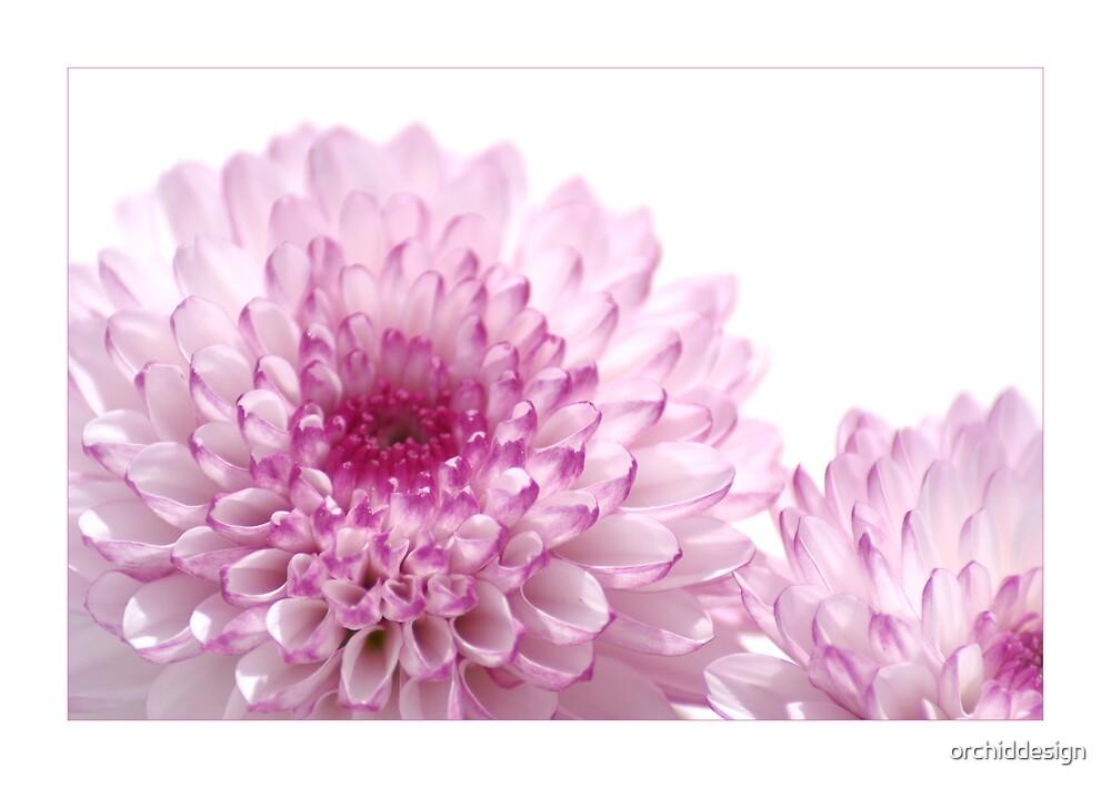 Chrysanthemum by orchiddesign