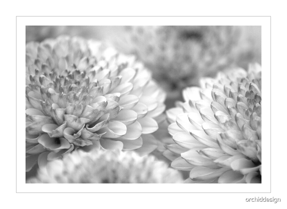 Chrysanthemums in Mono by orchiddesign