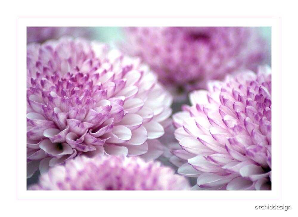 Chrysanthemums by orchiddesign