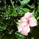 Pink Hibiscus by Carolyn Bishop
