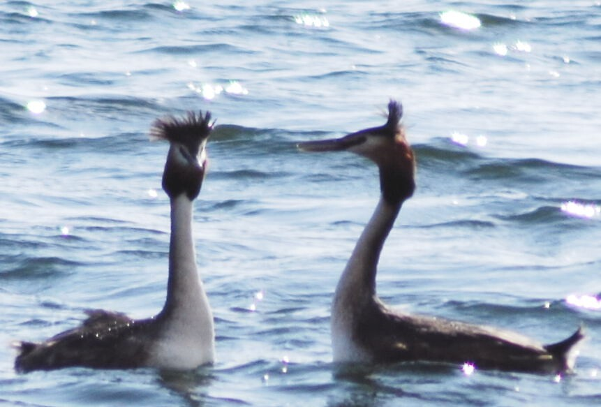 2 grebe or not 2 grebe by cool3water