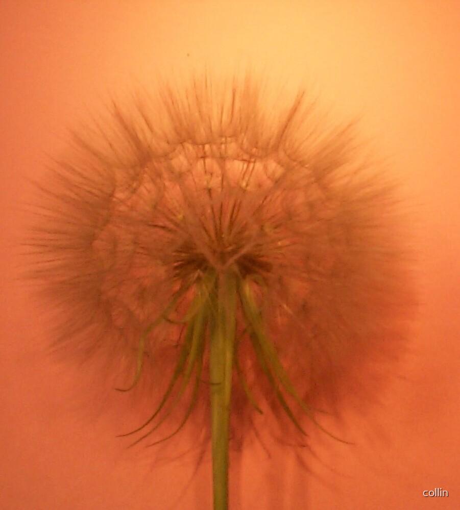 Dandelion by collin