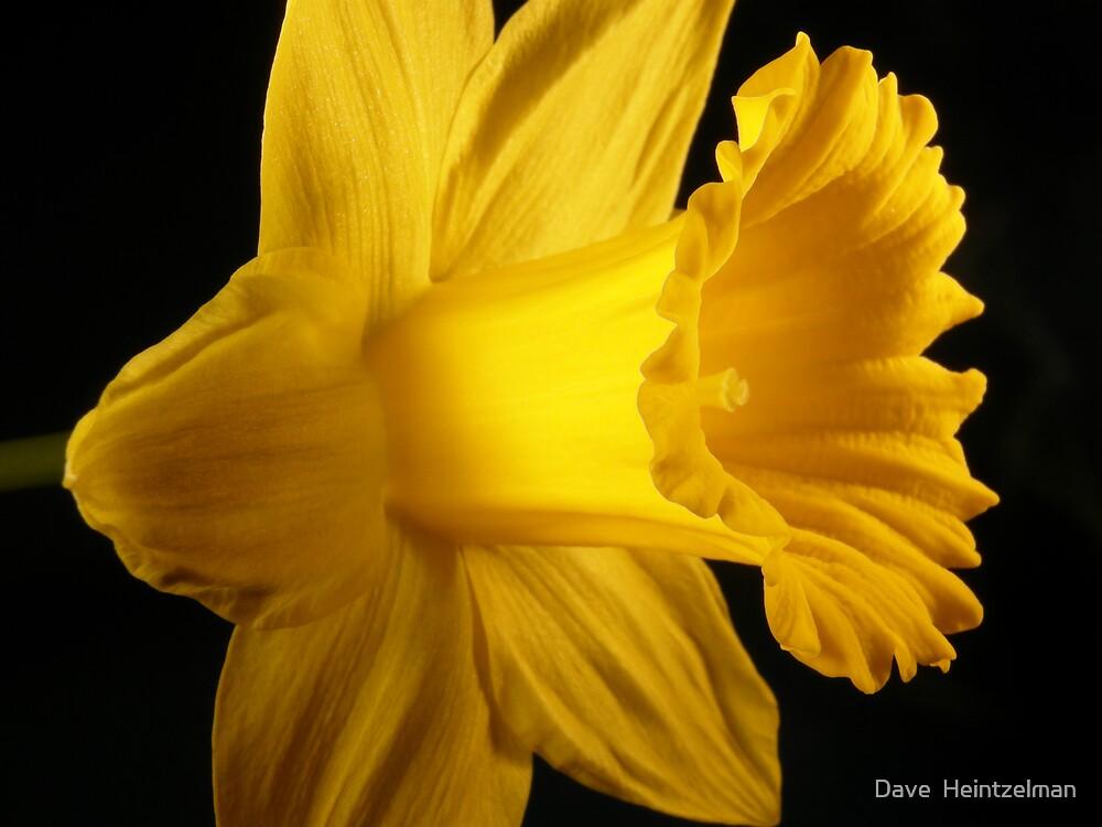 daffodil by Dave  Heintzelman