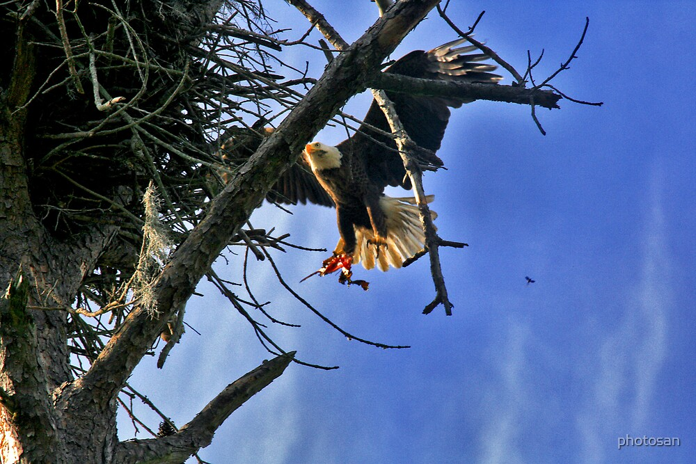 Close up shot of Eagle returning to the nest... by photosan