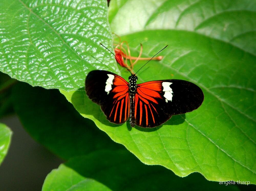 Butterfly Beauty by angela tharp
