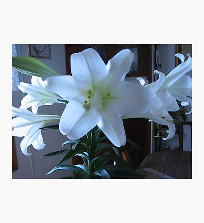 Easter Lily  Extra petals Photographic Print