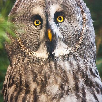 Great Grey Owl by domcia