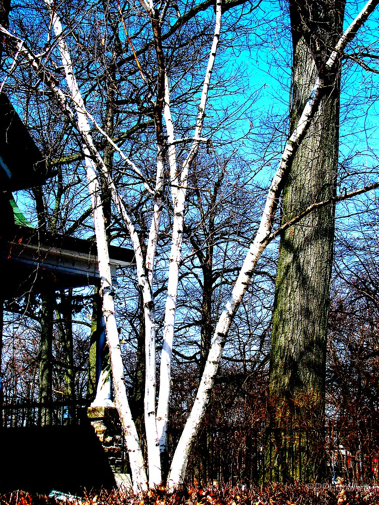 Birches by PPPhotoArt