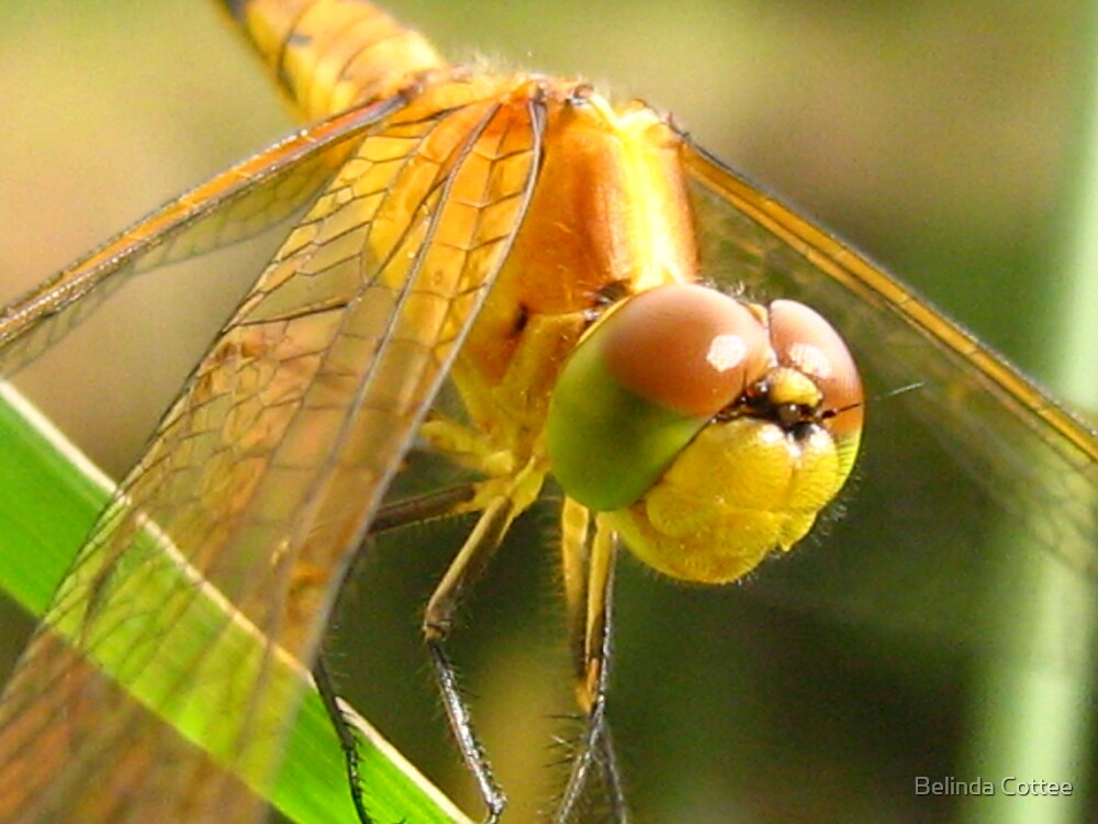 Australian Pygmyfly by Belinda Cottee