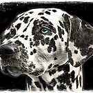 Odd eyed Dalmatian by © Kira Bodensted