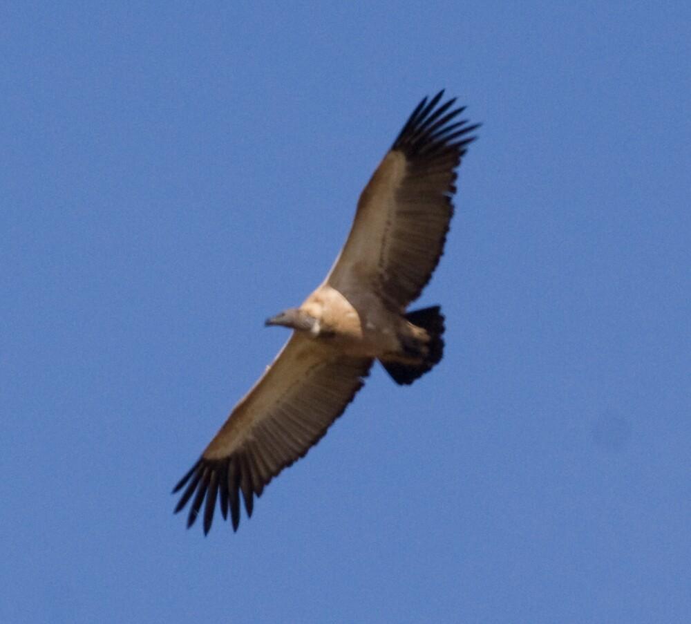 Cape Griffon Overhead by Paul Lindenberg