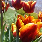 Fire Tulips in Bloom by Katherine Friesen