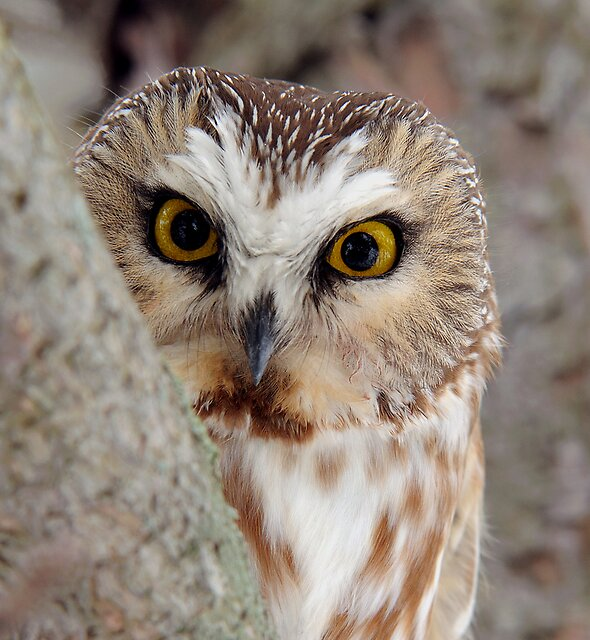 Northern Saw-whet Owl Peeking! by Raymond J Barlow