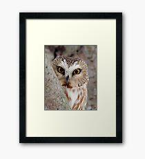 Northern Saw-whet Owl Peeking! Framed Print