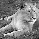 Lioness by Mark Andrew Turner