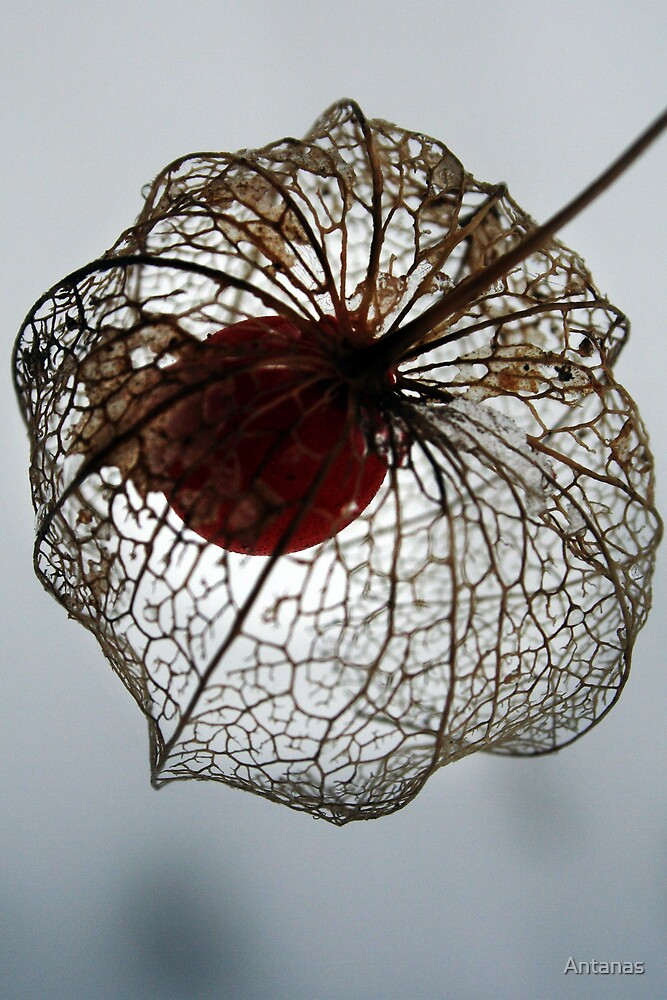 Flowerweb by Antanas