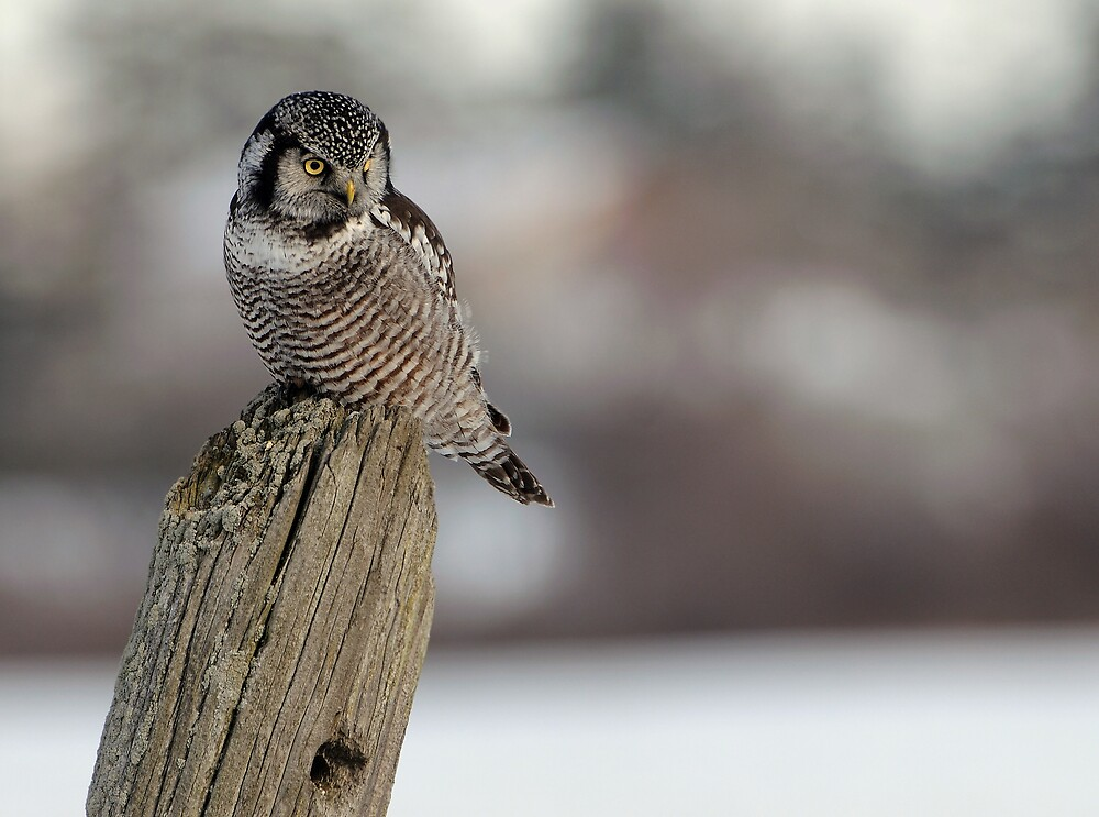 Northern Hawk Owl Hunting by Raymond J Barlow