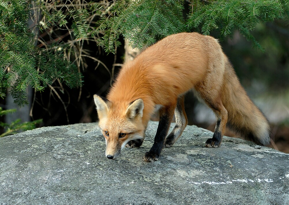 Red Fox Hunting - Algonquin NP, Ontario Canada by Raymond J Barlow