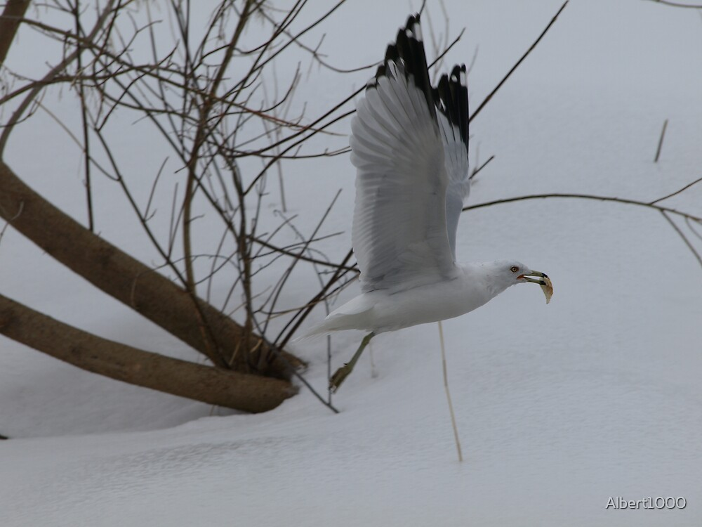 NC Seagull by Albert1000