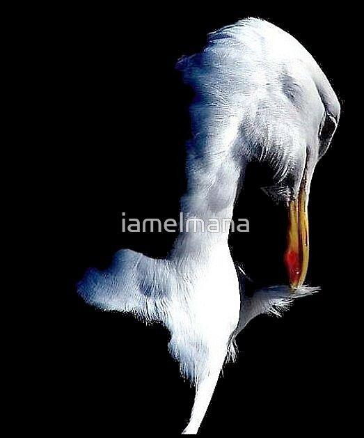 Preening Gull by iamelmana