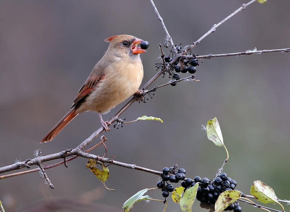 Northern Cardinal by Raymond J Barlow