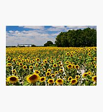 Sunflower field Photographic Print