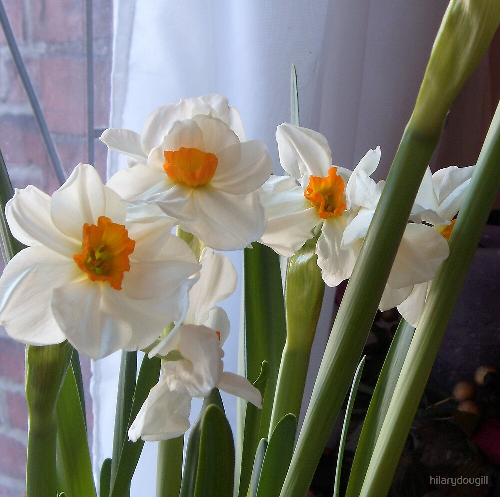Narcissus  by hilarydougill