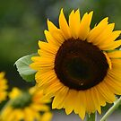 Sunflower Group by Eileen Brymer