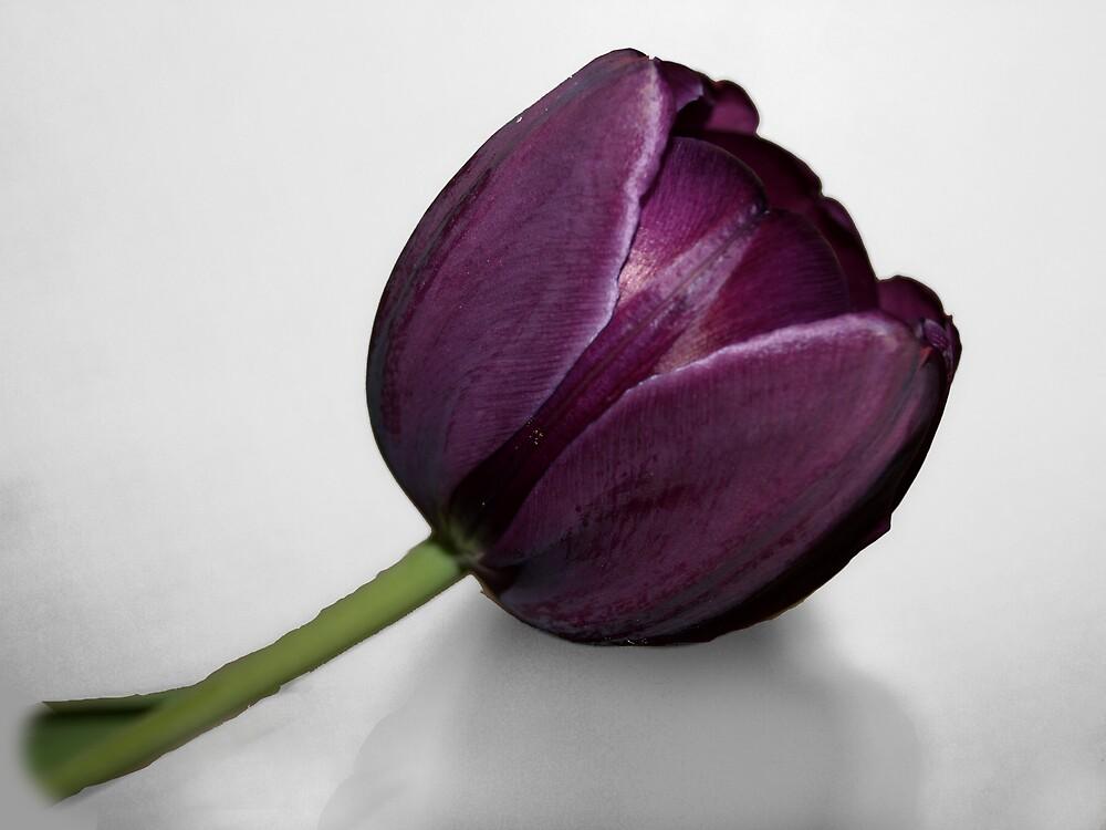 Purple Tulip by KnockKnockPhoto