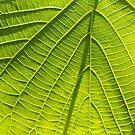 Wild Vine Leaf 2 by RoxxieDrox