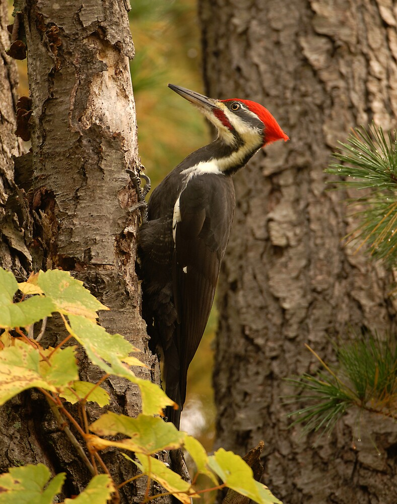 Pileated Woodpecker by Raymond J Barlow