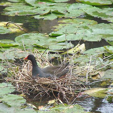 Nesting in the Waterlillies by Zephyrme
