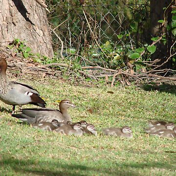 Wood Duck Family by Zephyrme
