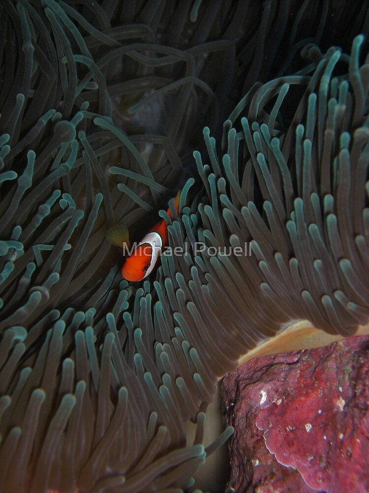 Cape Kian Clownfish by Michael Powell