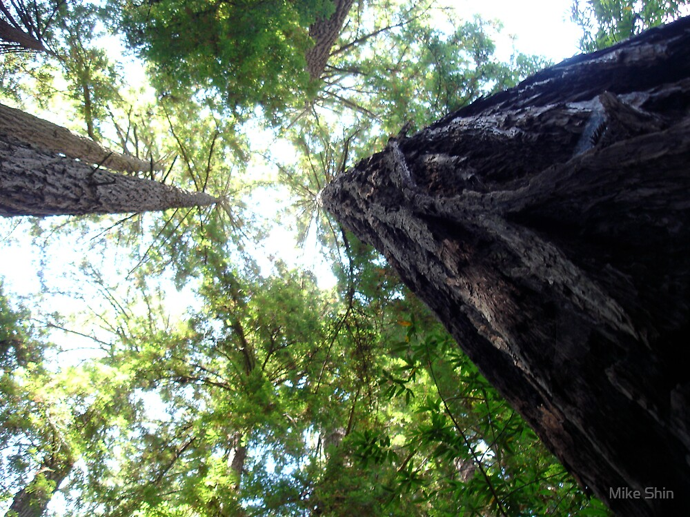 Redwoods by Mike Shin