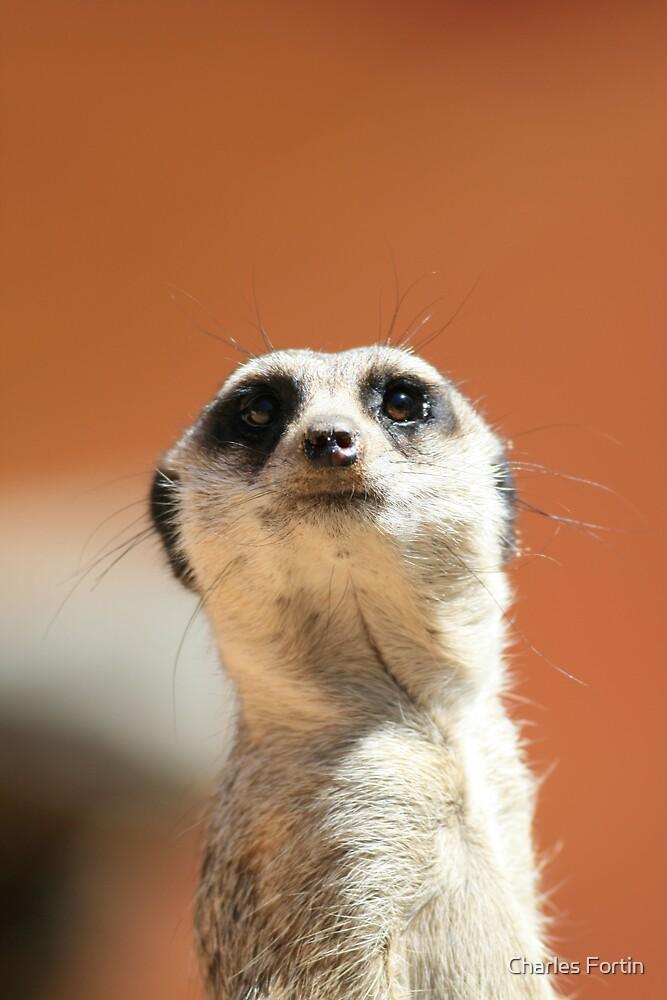 Meerkat by Charles Fortin