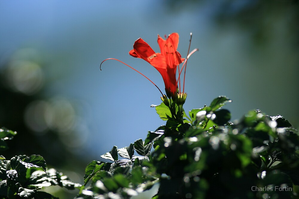 Red Flower by Charles Fortin