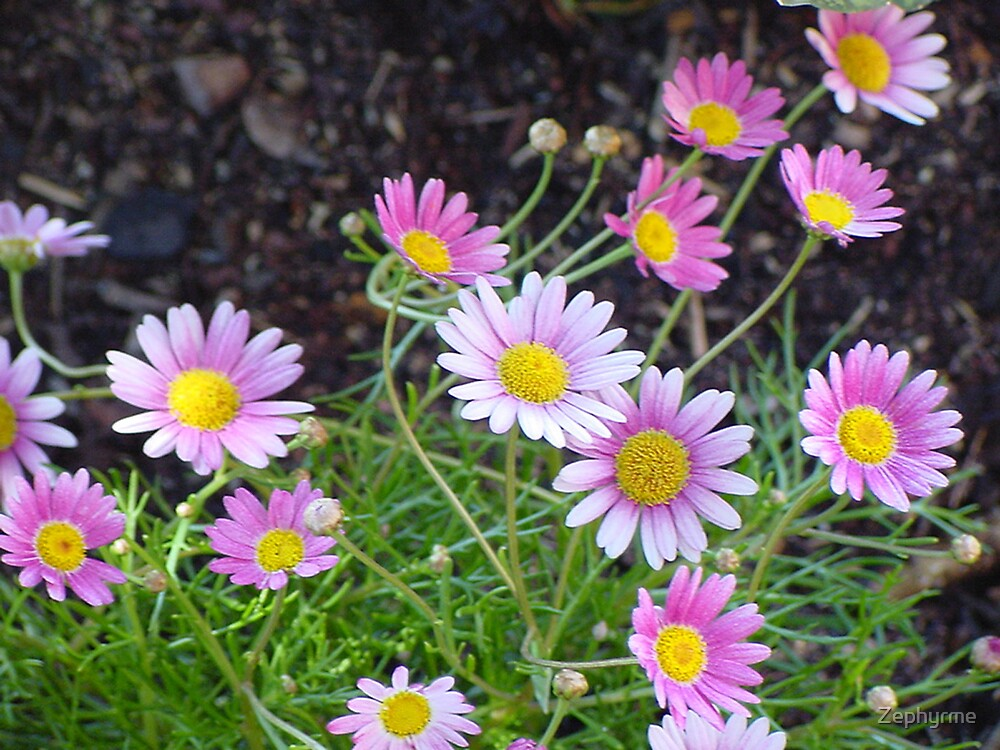 Pink Daisies by Zephyrme