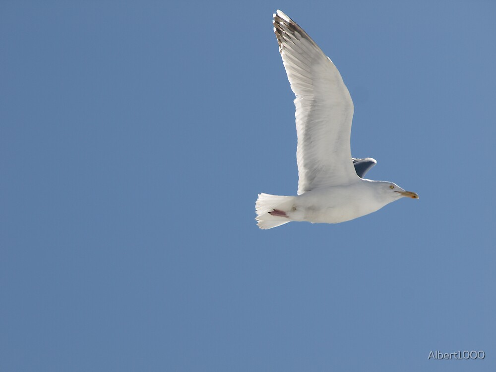 NC Fly like a SEAGULL by Albert1000
