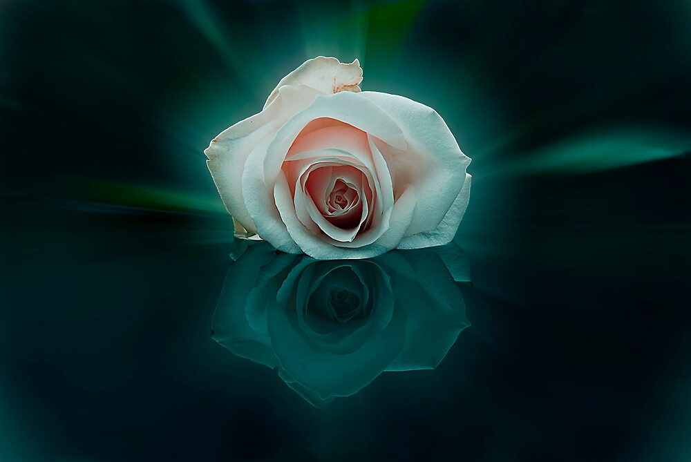the rose 2 by sjef