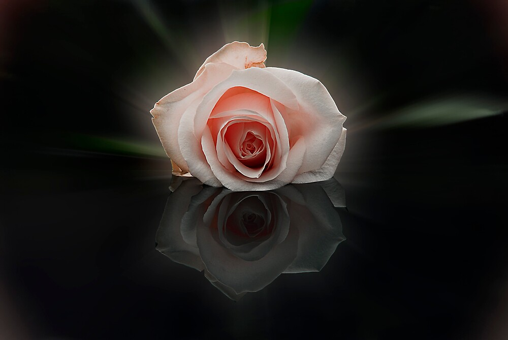 the rose 3 by sjef