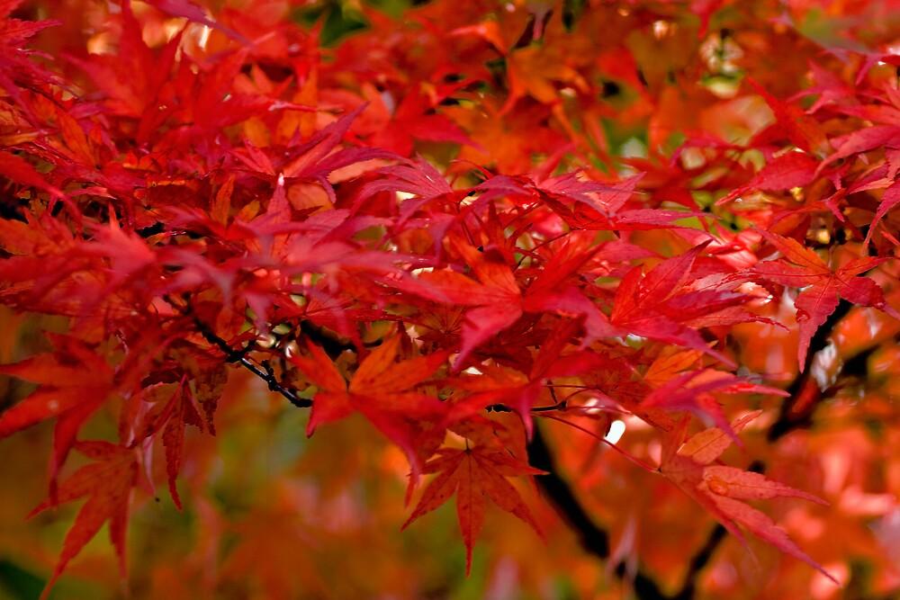 Red Maple by Matt Koenig