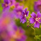 Geranium Magnificum by alan shapiro