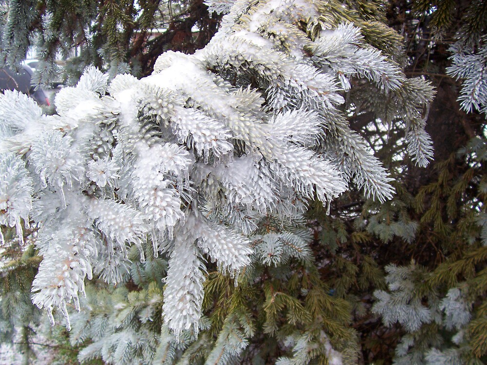 Frozen Pine by Rebecca Ogden