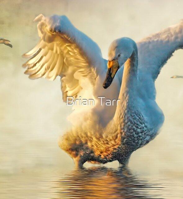 Swans at sundown by Brian Tarr