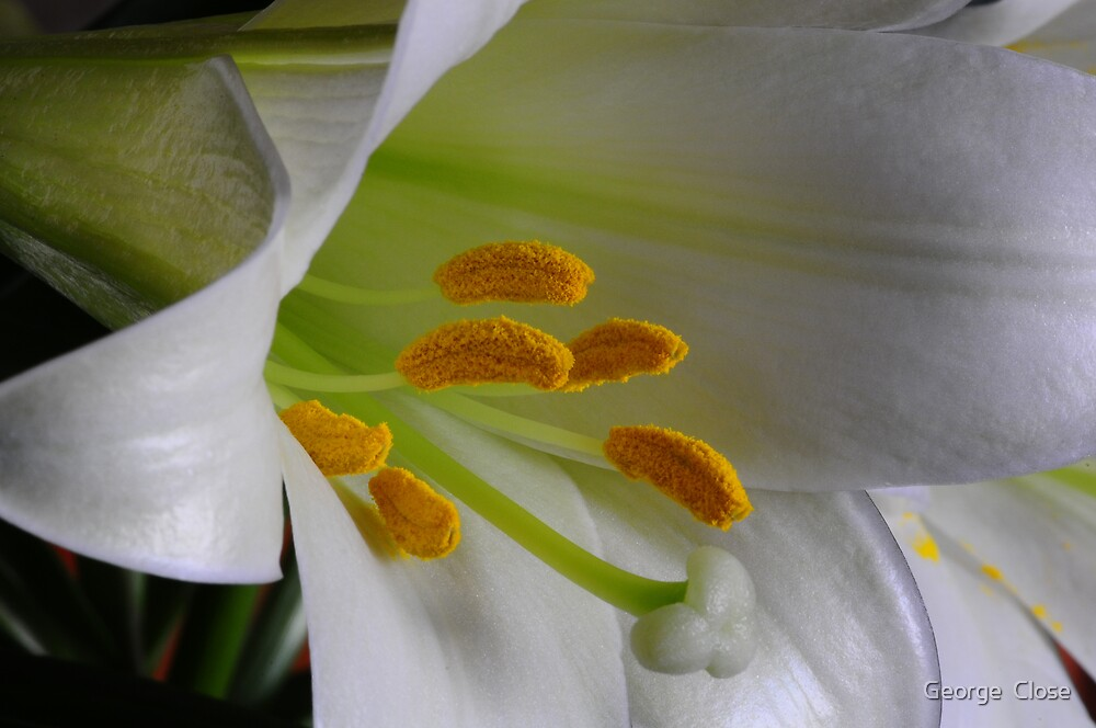 easter lilly by George  Close