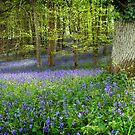 Bluebells in woods near Warminster, Wiltshire	 by Victoria Ashman